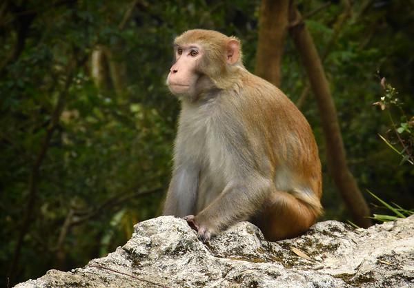 A Kowloon Monkey