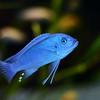 Blue Mushroom Fish