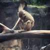 A Sad Baboon