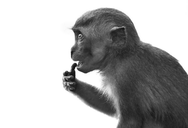 A Macaque Baby