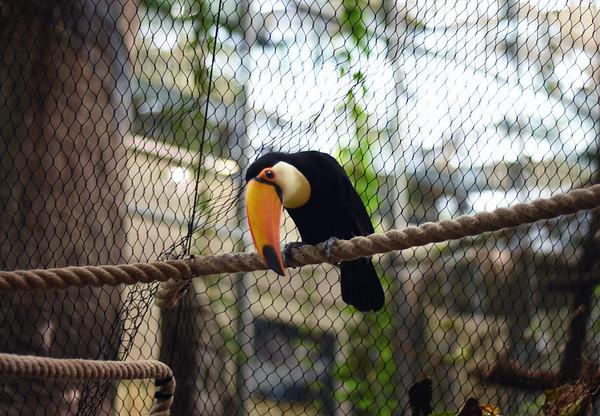 A Toco Toucan