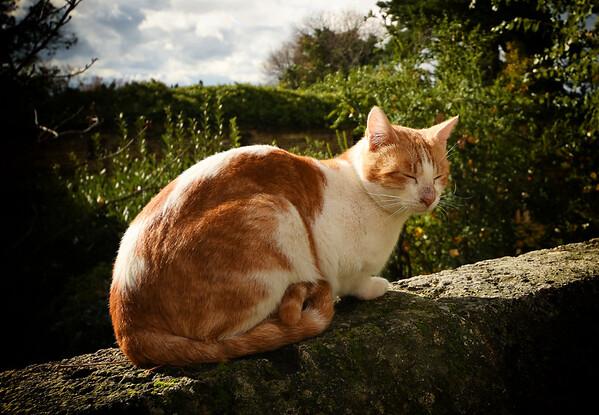An Alhambra Cat