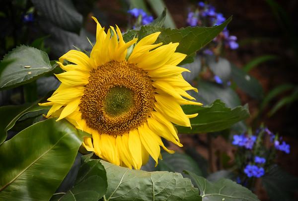 A Botanical Sunflower II