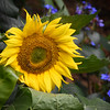 A Botanical Sunflower II