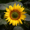 A Botanical Sunflower I