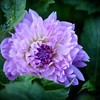 A Purple Blossom