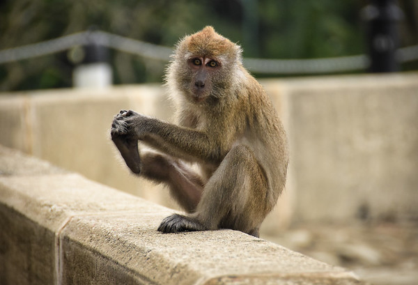 Foot Shaking Monkey