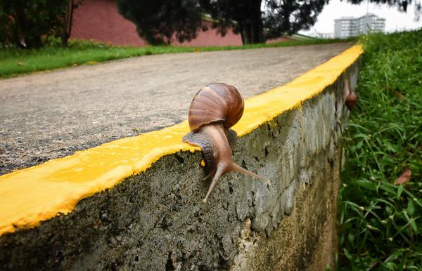Yellow Line Snail