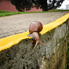 Yellow Line Snail