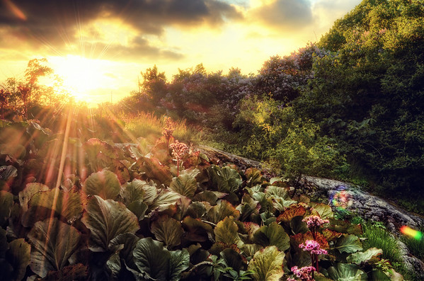 Rhubarb Field Sunset
