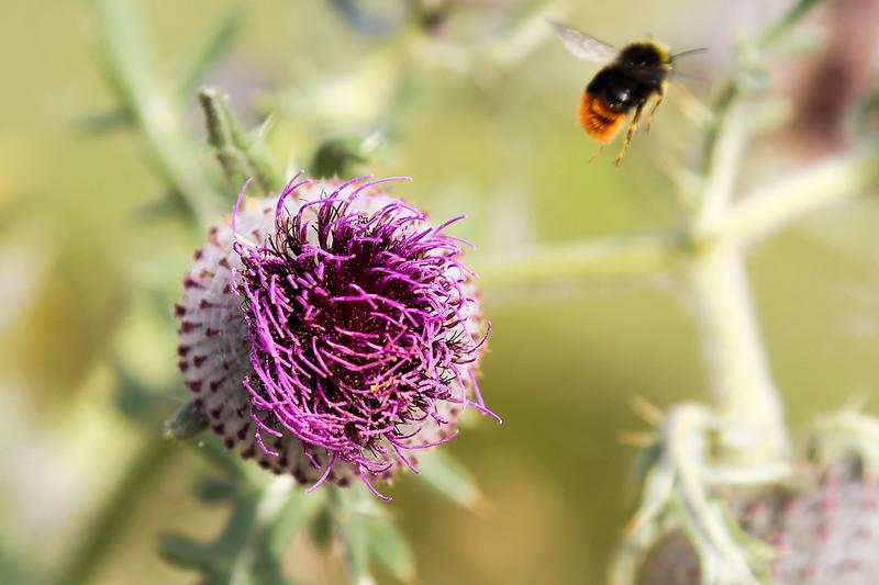 11th Aug 2016:  Thistle and departing bee at Granada bridge----B....r