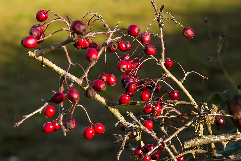 11th Nov 2016:  Red berries at Pot Lane in Berkley