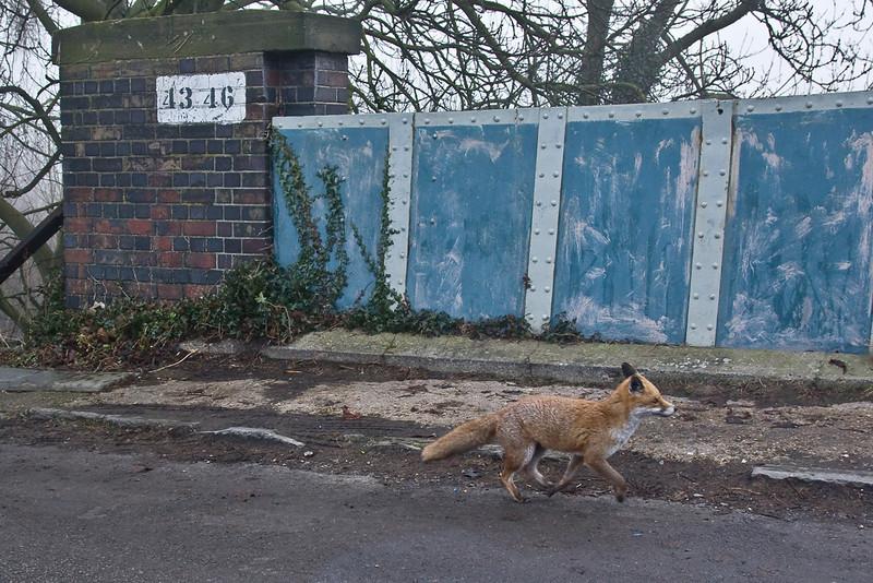 14th Jan 09: Freddie fox trots over the bridge at Lower Basildon.  Taken through a rather dirty car window.
