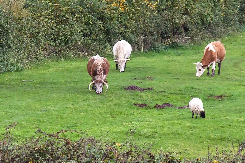 4th Nov 2015:  Serious Horns near Lavington