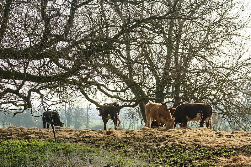 8th Apr 2015:  Feeding Cows at Compton Beauchamp