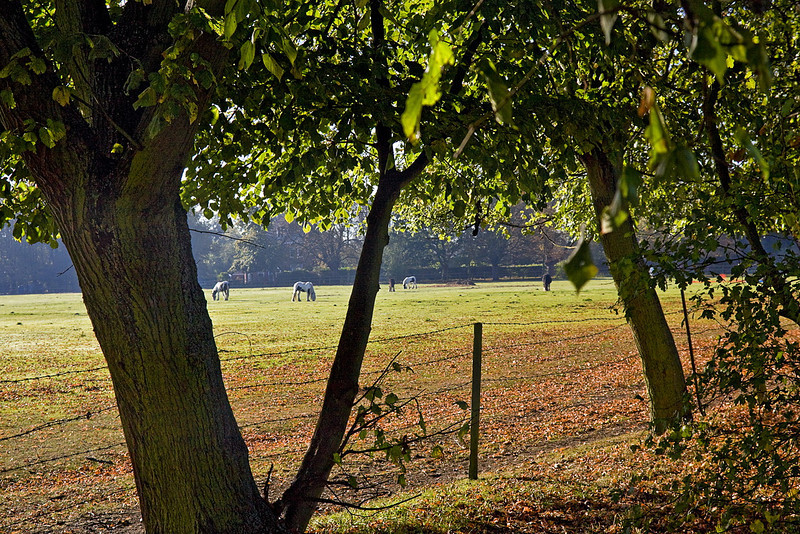 15th Oct 11:  Grazing horses at Egham from the path near the railway line.