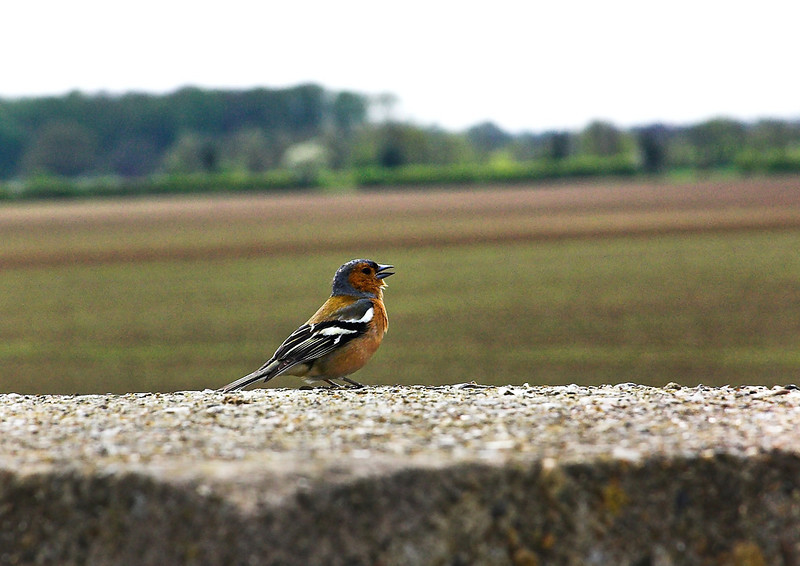 1st May 06:  He was singing his heart out and did not mind me standing less than 2 m from him. Bridge parapet at Shottesbrooke
