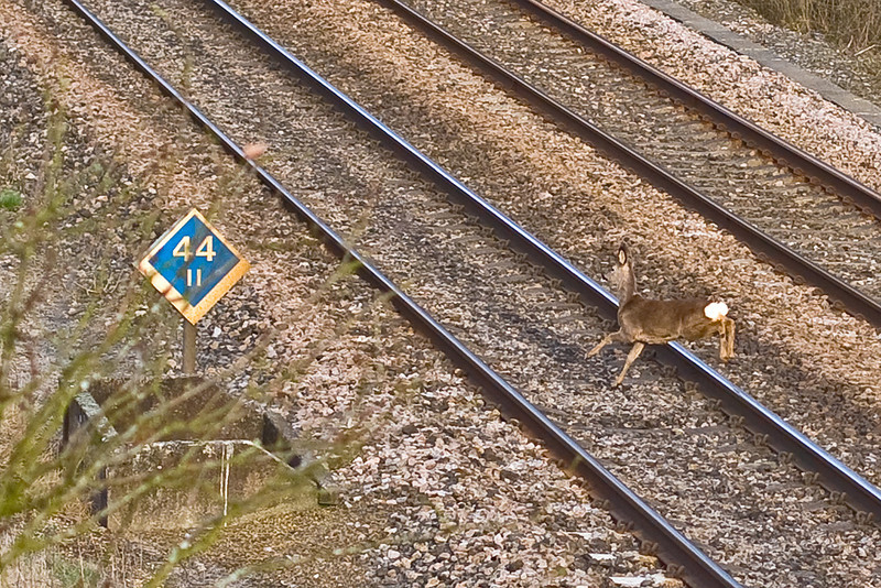 2nd Feb 08: Roe Deer at Silchester.  It is fairly common for groups of deer to cross the line near this bridge.