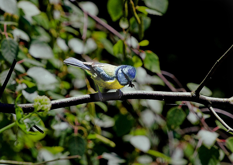 1st May 06:  The Blue Tits used this twig as a perch before  going to the nest which was in a crack in the parapet. They returned with food every 40 seconds !