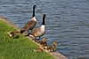 13th May 08:  Canada Geese family at Crofton-Wiltshire