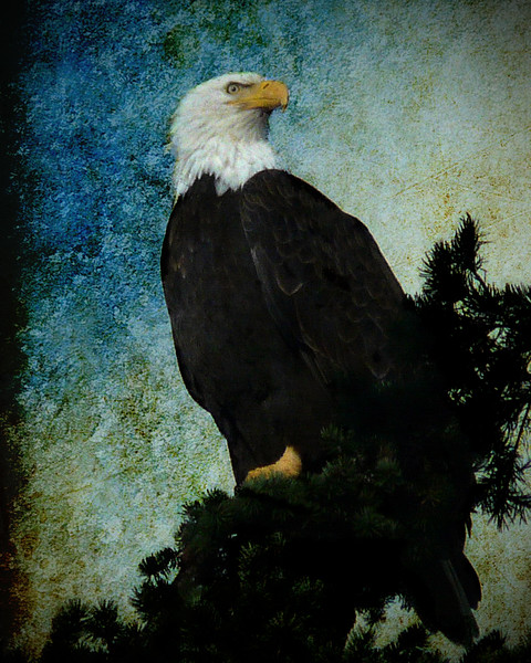 Majestic Bald Eagle copy