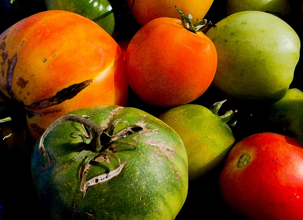 last tomatoes1QW