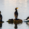 Great Cormorants and a Little Pied Cormorant