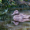 Freckled Duck (Stictonetta naevosa)
