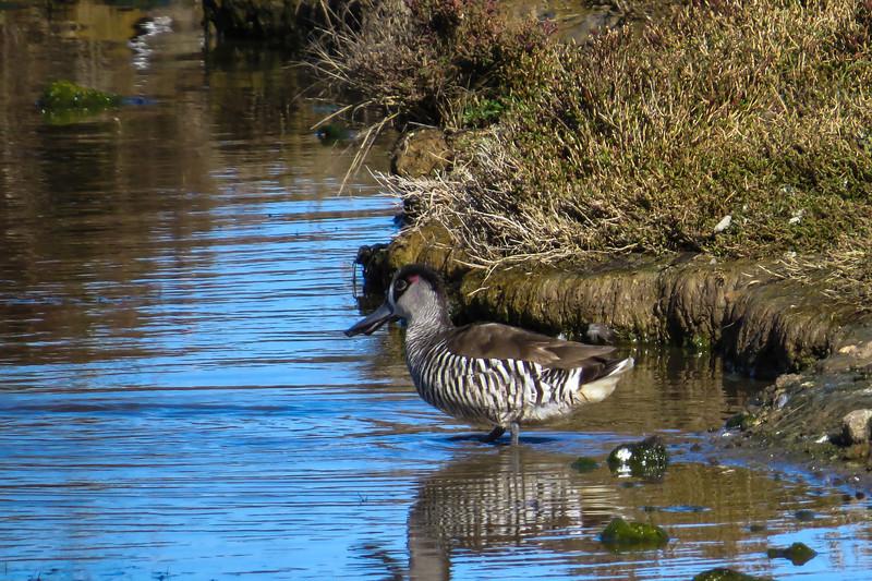 Pink-Eared Duck (Malacorhynchus membranaceus)