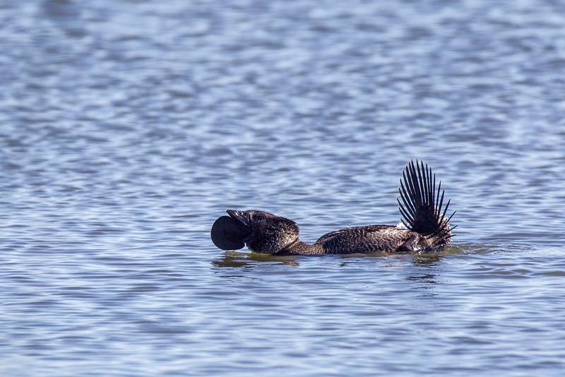 Musk Duck (Biziura lobata)