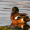 Chestnut Teal (Eulabeornis castaneoventris)