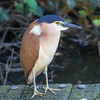 Nankeen Night Heron (Nycticorax caledonicus)