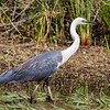 White-necked Heron (Ardea pacifica)