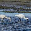 Yellow-Billed and Royal Spoonbills