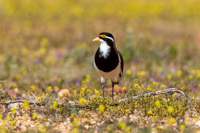 Banded Lapwing (Vanellus tricolor)