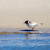 Hooded Plover (Thinornis rubricollis)