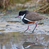 Red-Kneed Dotterel (Erythrogonys cinctus)