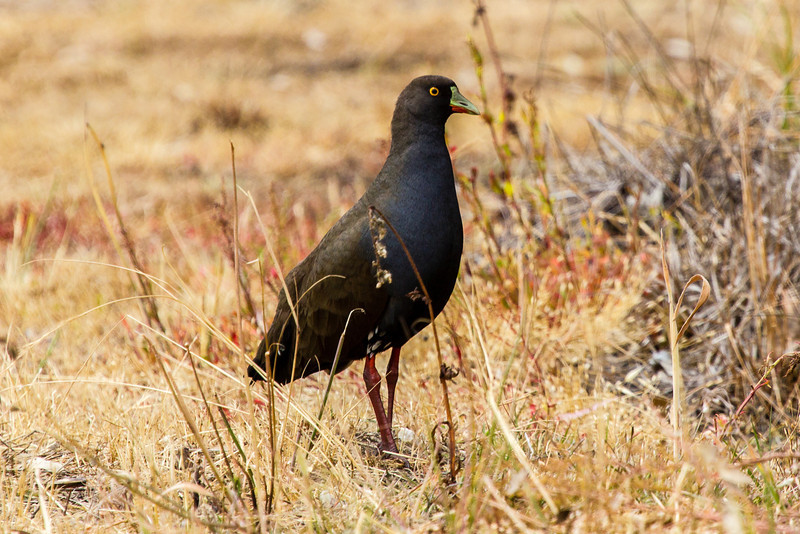 Black-tailed Native Hen (Tribonyx ventralis)