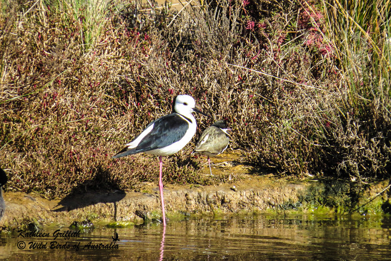 Black-Winged Stilt  (Himantopus leucocephalus)