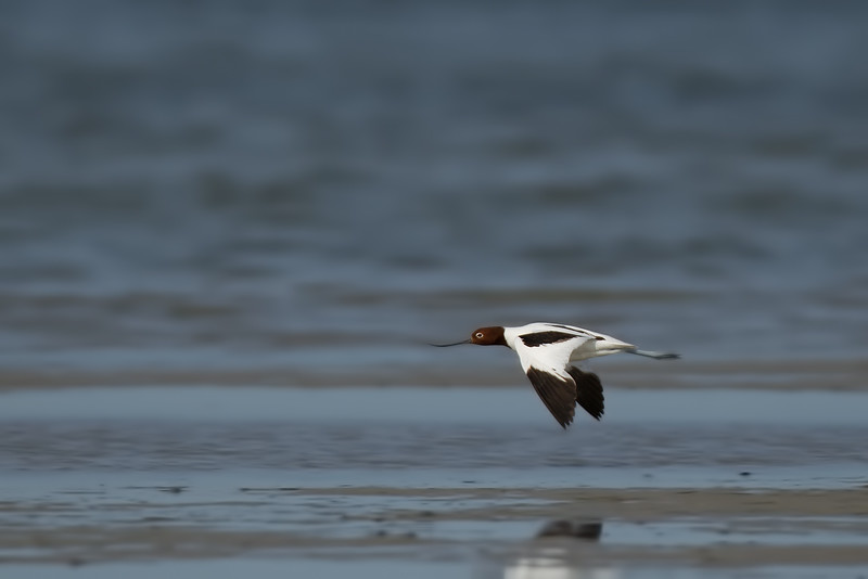 Red-necked Avocet (Recurvirostra novaehollandiae)