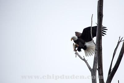 Eagles_2O7A0010