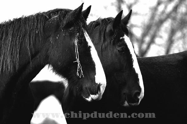 Animals_Horses_IMG_2575_bw