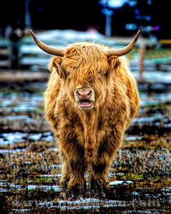 Scottish Highlands cow_2O7A9884_color