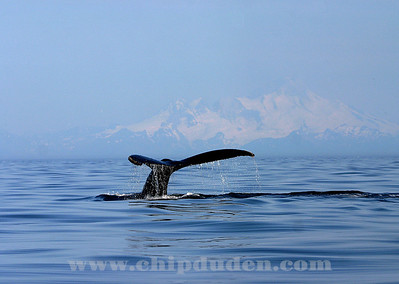 Humpback Whale tail off the Port of Homer, AK.