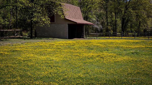 Field of Buttercups, Freisburg, Salem County, NJ