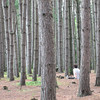 Alone in the pine forest