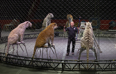 "Famed animal trainer Tabayara ""Taba"" Maluenda practices with his tigers"