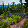 Lupine Path