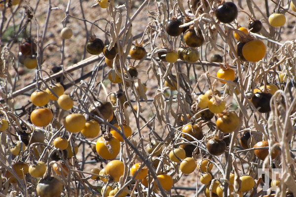 Desert berries - Arizona