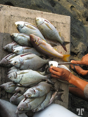 Fisherman cleaning the freshly cached fish, directly on the beach - Manzanillo, Mexico